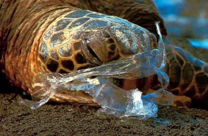 Tortuga-atrapada-por-una-bolsa